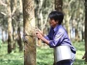 Precio de caucho de Vietnam registra tendencia bajista