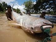 Nuevas especies de peces en el Mekong