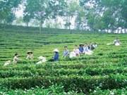 Descubren árboles antiguos de té en provincia norteña