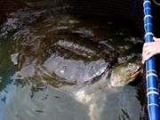 Liberan a su hábitat natural legendaria tortuga de Ha Noi