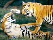 Seminario sobre conservación de tigres en Viet Nam