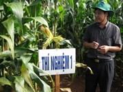 Experimentan con éxito cultivo de maíz transgénico