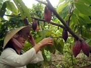Asociación asiática de cacao ayuda a campesinos vietnamitas