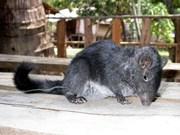 Capturan nuevo ejemplar de rata de roca