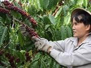 VN reduce producción de café en 2012
