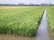 Cuba ampliará cultivo de arroz con técnica vietnamita