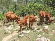 Hanoi busca mejorar producción de carne vacuna