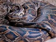 Muere enorme boa constrictora en Bac Lieu