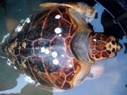 Liberan rara especie de tortuga a su hábitat natural