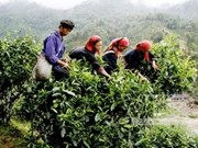 Aumenta Vietnam exportación de té