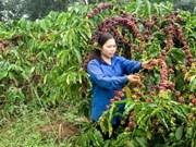 Vietnam: primer exportador mundial de café