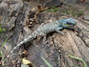 Descubren nueva variedad de iguana