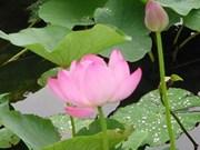 Inician selección de Flor Nacional de Vietnam