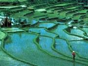 Indonesia podrá suspender importación de arroz en 2013
