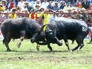 Celebra Phu Tho festival tradicional de búfalos