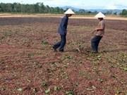 Centra Vietnam mayores esfuerzos en replantación cafetalera
