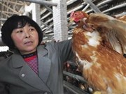 Vietnam intensifica medidas contra gripe aviar