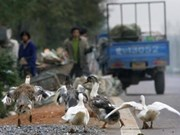 Vietnam se esfuerza por evitar contagio de gripe aviar H7N9