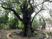 Nombran árbol patrimonio en provincia de Quang Ngai