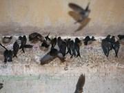 Buscan desarrollo estable en cría de golondrinas