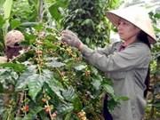 Producirá Vietnam 1,3 millones toneladas café