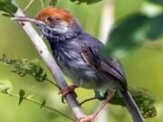 Descubren especie de ave en Cambodia