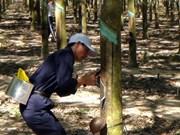 Inicia empresa vietnamita explotación de caucho en Cambodia