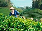 "Thai Nguyen, ""tierra sagrada"" de té"