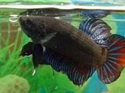 Lucha de peces - un disfrute inolvidable