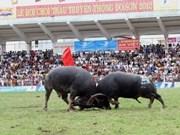 Presencian turistas festival de lucha de búfalos en Vietnam