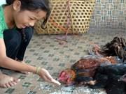 Nuevos casos mortales por gripe aviar en Cambodia