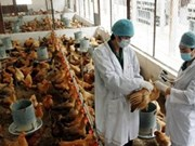 Khanh Hoa reporta primer caso mortal de gripeKhanh Hoa reporta primer caso mortal de gripe aviar este año  aviar este año