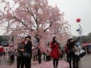 Cerezos japoneses embellecen las calles de Hanoi