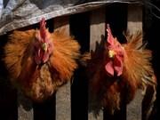 Detectan nuevo subtipo de gripe aviar en ciudad vietnamita