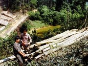Empeñado Sudeste de Asia en repoblación de acacia