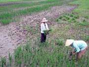 Salinización de vasta zona de cultivo arrocero de Ca Mau