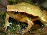 Descubren nuevos anfibios y planta en Khanh Hoa