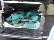 Decomisan pangolines de contrabando en ciudad vietnamita