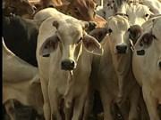 Impresionante cifra de envío de ganado australiano a Vietnam