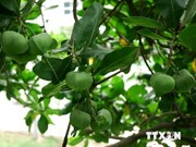 Reconocen cuatro árboles de Truong Sa patrimonios de Vietnam