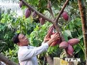 Impulsan cultivos de cacao en Delta del Mekong