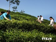 Pakistán, mayor importador de té vietnamita