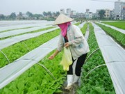 Bac Giang aumenta cooperación en venta de verduras procesadas