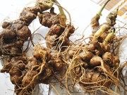 Aumenta Quang Nam cultivo de ginseng Ngoc Linh