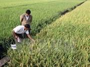 Desarrolla Delta de Mekong áreas arroceras para exportación