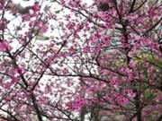 Florece Sakura en ciudad de Ha Long