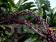 Vietnam busca soluciones para cultivo sostenible de pimienta