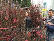 Flores de durazno, señal del Año Nuevo Lunar en las calles de Hanoi
