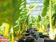 Cultivo orgánico de verduras de un singapurense en Da Lat