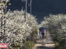 Flores blancas cubren provincia montañosa vietnamita